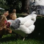 Chickens-pt2